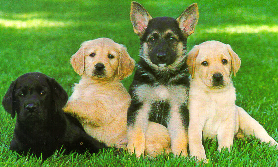 pictures of dogs and puppies. for guide dog puppies,